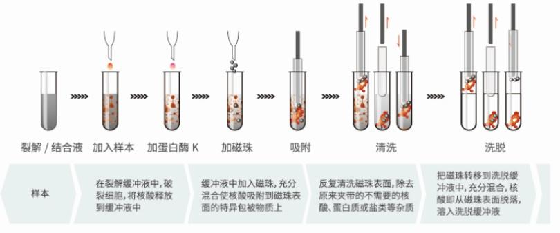 核酸提取原理-1.png